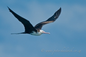 Female Greater Frigate Bird by wildlife and conservation photographer Peter Chadwick.