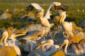 Great White Pelican Lands With Nesting Material