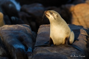 Cape Fur Seal in the Namaqua National Park