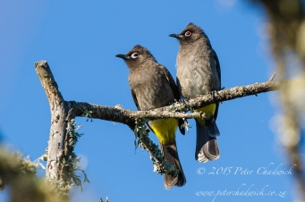 Cape Bulbul_©PeterChadwick_AfricanConservationPhotographer.