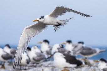 Swift Tern in Cape Point