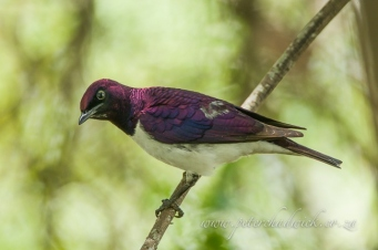 Violet-Backed Starling by wildlife and conservation photographer Peter Chadwick.jpg