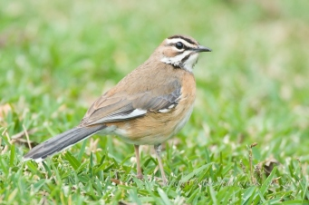 Bearded scrub robin by wildlife and conservation photograpger Peter Chadwick.jpg
